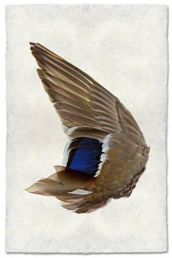 Mallard Duck wing left
