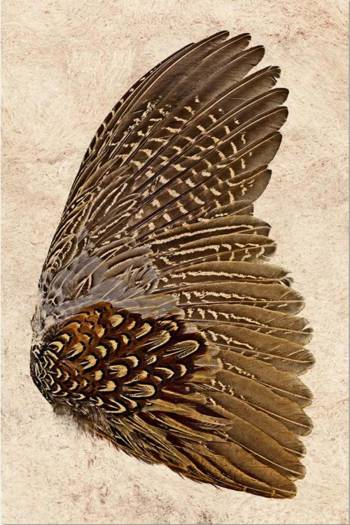 Ring Neck pheasant wing-right